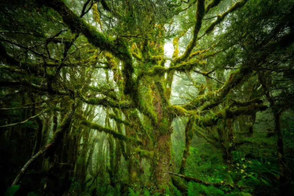 Fiordland_Tree-7