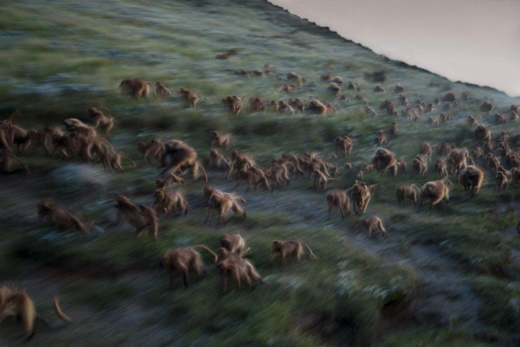 03-best-17-gelada-baboons-monkeys-guassa-ethiopia-evening-running-cliffs.adapt.1900.1