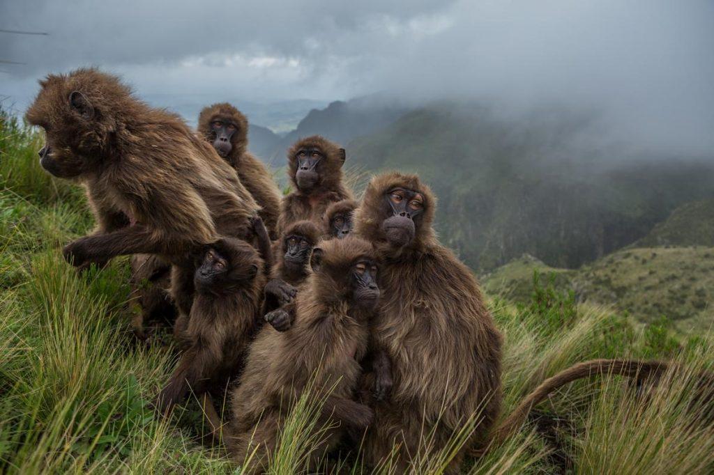 16-best-09-gelada-baboons-huddle-ethiopia-guassa-grass.adapt.1190.1