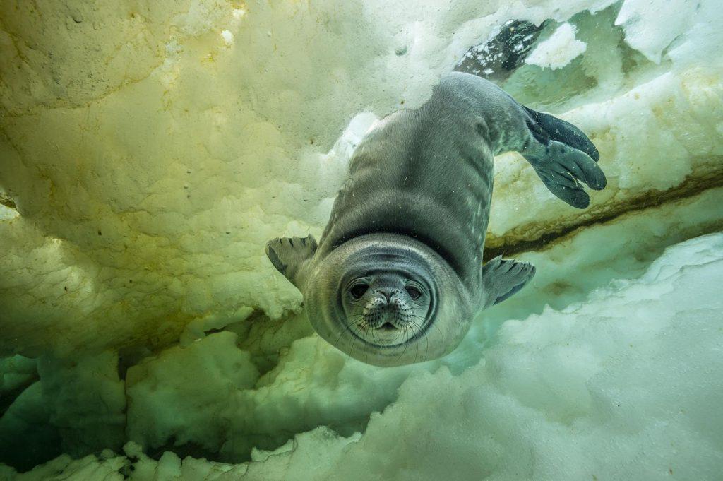 51-best-under-antarctice-weddell-seal.adapt.1900.1